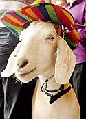 Gary the goat wearing his hat (Sydney Morning Herald)
