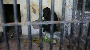 Cecilia in her cage at the Mendoza Zoo (Projeto GAP)
