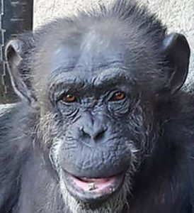 Cecilia, the Argentine female chimpanzee freed after having her habeas corpus petition granted.