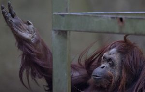 Sandra the orangutan, in December 2014 after court ruled she is a non-human person entitled to habeas corpus relief. (AP)