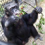 Kiko at the nonprofit Primate Sanctuary in Niagara Falls, NY in July 2013 (AP)